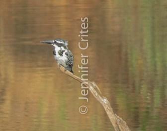 Ranthambore preserve, kingfisher 592