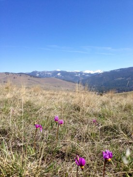 picture of shooting stars wildflowers in montana