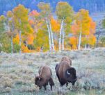bison in yellowstone picture