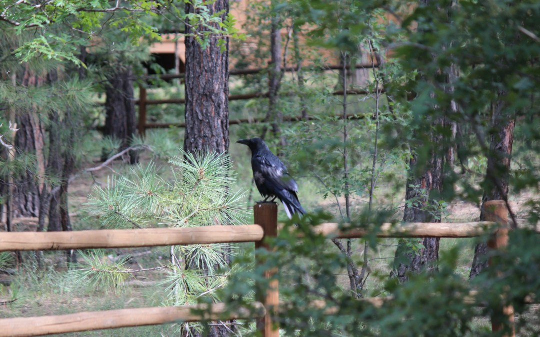 Crow on the fence.