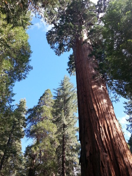 General Grant sequoia (c) 2015 Jennifer Hofmann