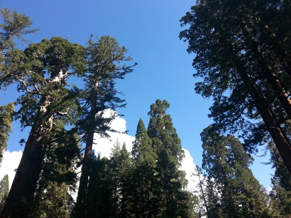 Sequoia National Park - c 2013 Jennifer Hofmann