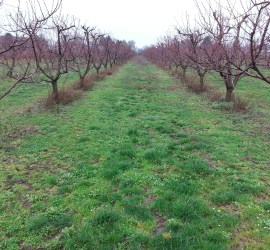 peach orchard with pruned branches on the ground