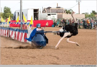 Chander, Arizona, USA. 11th March, 2016. An ostrich racer makes a turn during the chariot races at the 28th Annual Chandler Ostrich Festival. The yearly festival runs for three days and draws large crowds. © Jennifer Mack/Alamy Live News