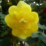 "Tuberous Begonia ""Yellow"""