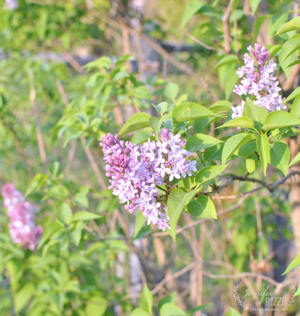 Why didn't my lilacs bloom this year and other troubleshooting tips