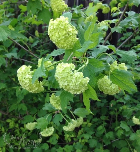 Snowball viburnum has beautiful white blooms, the bush can get up to 15 feet high.