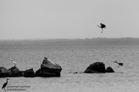 Grey Herons-3