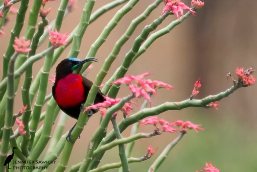 A male scarlet chested sunbird caught with an open mouth, and covered in pollen. 1/100sec, f5.6, ISO 800