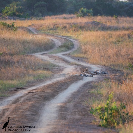 A mom and three young cheetah cubs block the road (as does a zebra, farther off in the distance). Phinda Private Game, May 2015 1/250sec, f7.1, ISO 1000