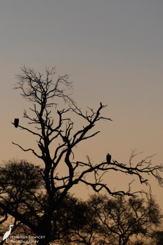 A pair of white backed vulture perched in the fading light. 1/200sec, f5.6, ISO 1100