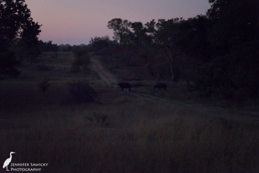 Two buffalo cross the road, long after my camera was able to take a photo without a flash or spotlight!