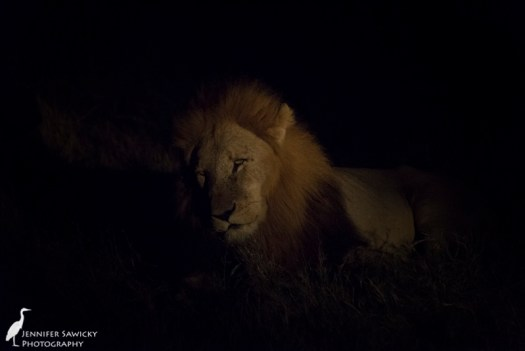 A gorgeous lion rest in the early evening darkness.  A female was close by as well. 1/160sec, f6.3, ISO 6400