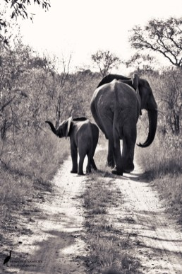 A pair of elephants moving down a road.