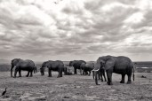 A herd of elephants in Amboseli.