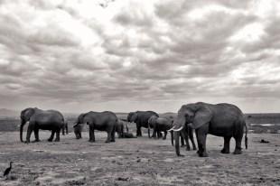 A herd of elephants in Amboseli.