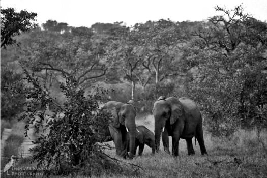 20180313_Elephants2
