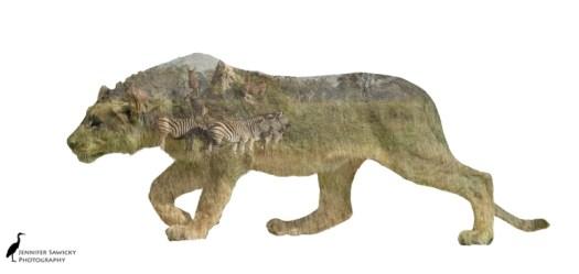 LionStalking.jpg