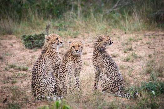 cheetah luminar.jpeg