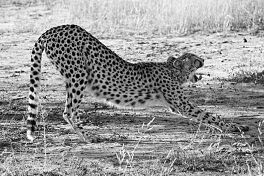 3pm - Cheetah