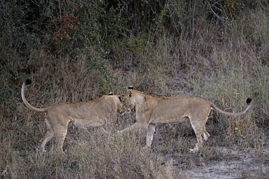 6am - Lions