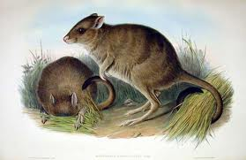 Brush tailed Bettong