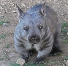 wombat 1