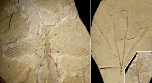 Stick Insect fossil