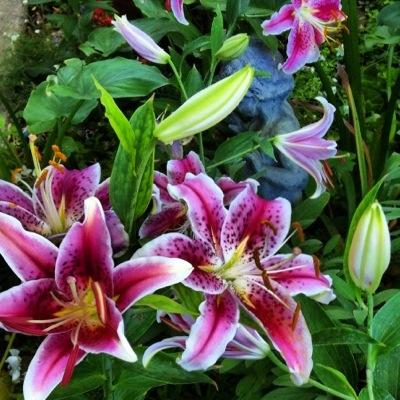 Stargazer lilies in my garden