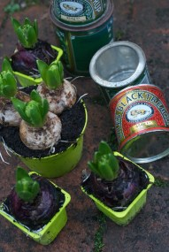 Hyacinths and recycled tins