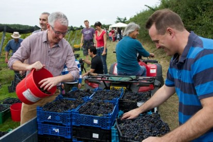 Loading up the grapes
