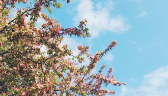A photo of pink cherry blossom against a bright blue sky with scattered fluffy clouds