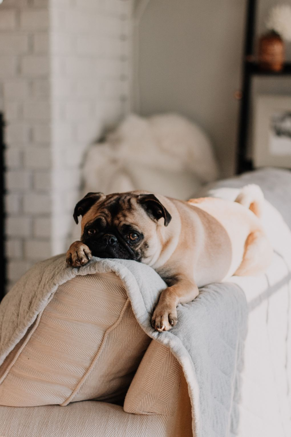 Taking Your Pets on a Weekend Break: Pug on the back of a sofa