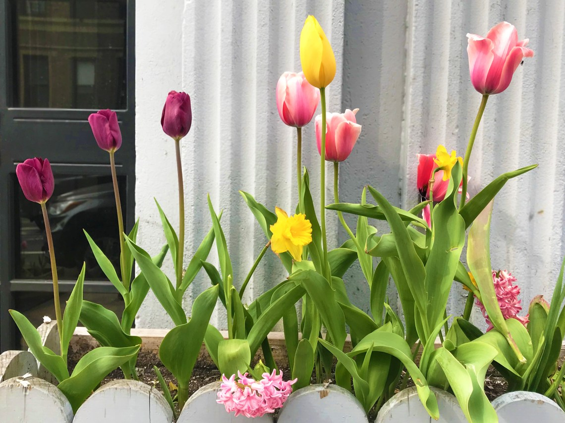 Tulips in flowerbox.