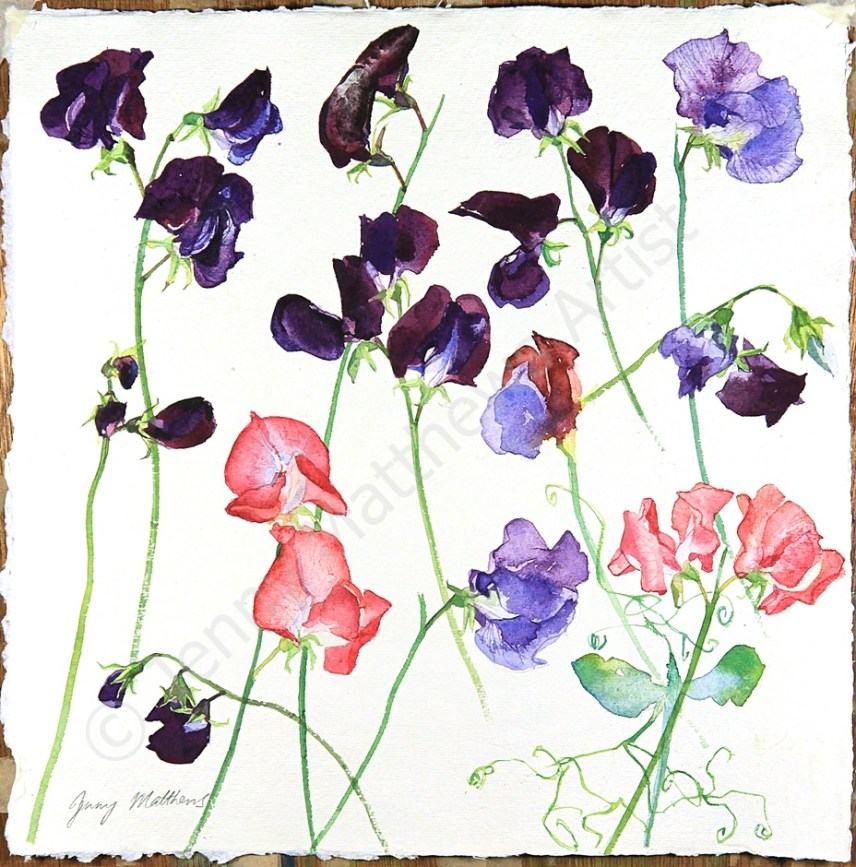 Jewel Coloured Sweet Peas, 30 x 30cm, watercolour on paper, framed selling price £650 SOLD