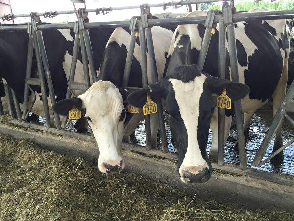 Dairy cows at Werkhoven Dairy Farm