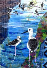 jenny robins - Black-winged Stilt