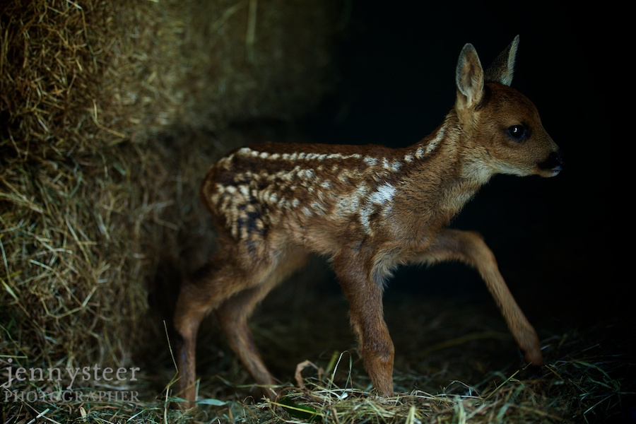 South West Wildlife Rescue Centre in Burnham-on-Sea. Baby fawn