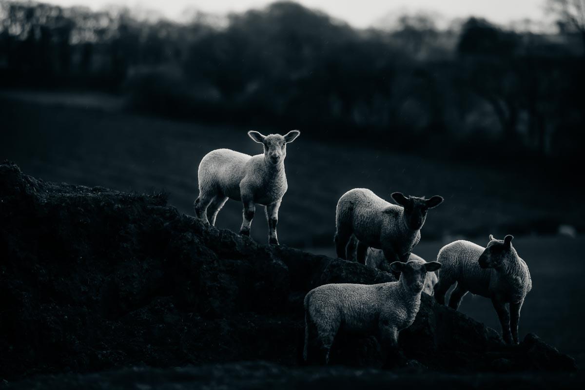 Sheep_photographer_003