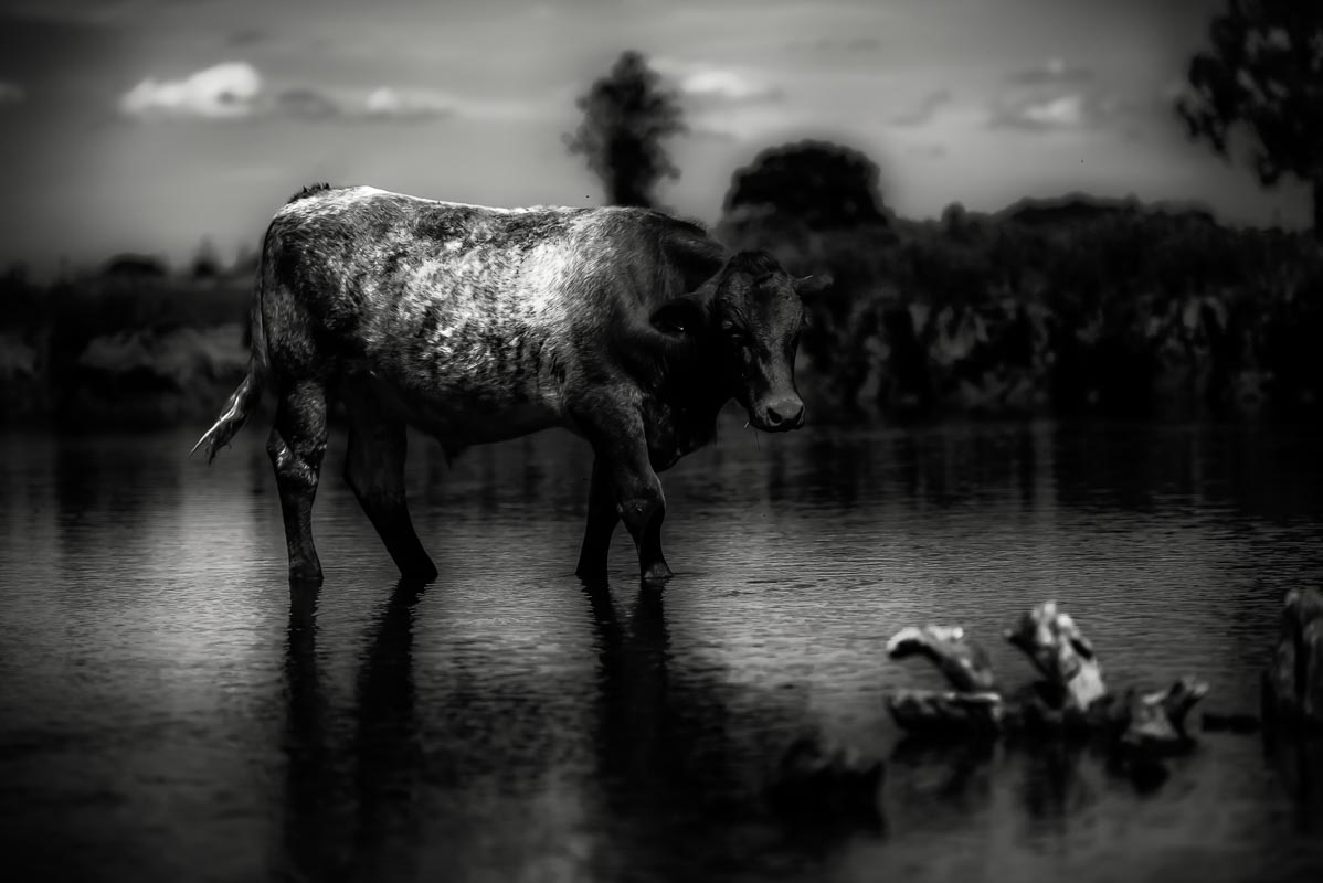 Cow_in_river_photographer_001