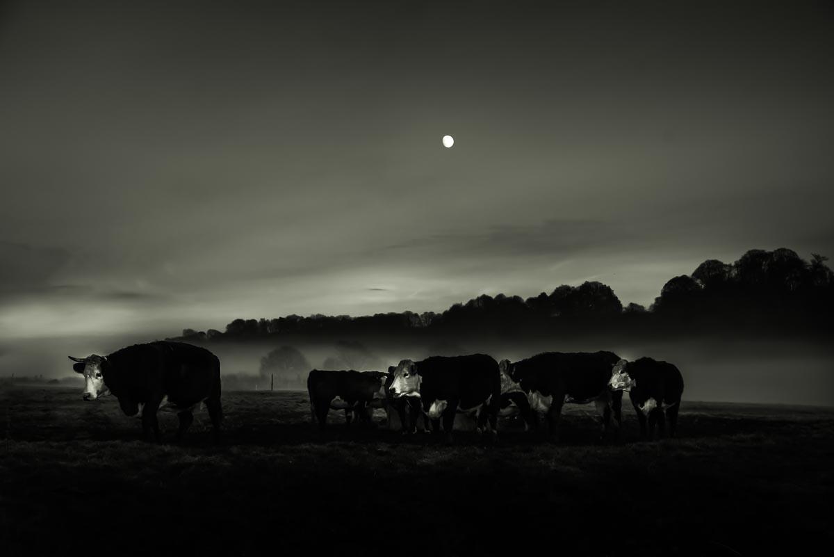 cattle_in_mist_photographer001