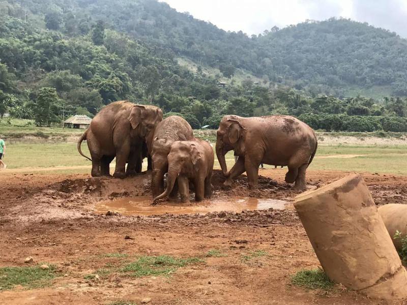 Family of elephants playing in the mud