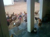 Turkey mob.