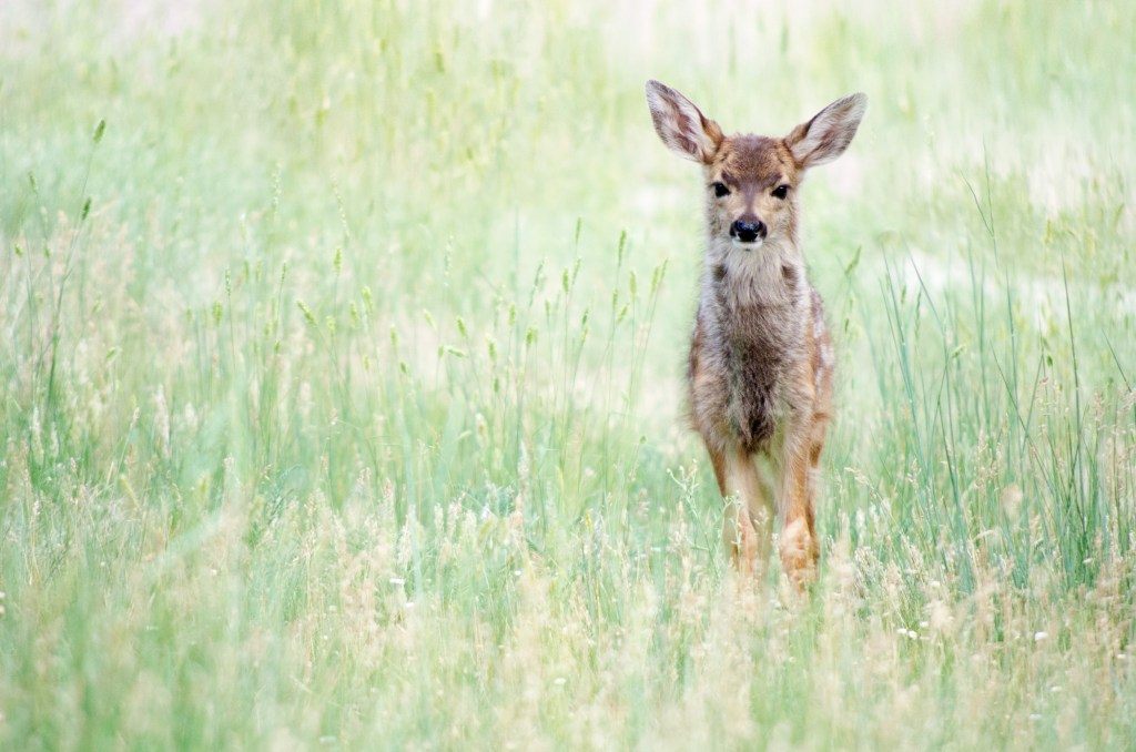 fawn young deer in wild grass