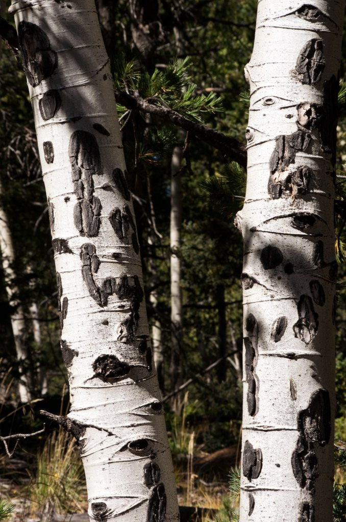 "In Colorado, aspens frequently are covered with black marks stretching from ground to around eight feet up. They're fairly uniform in height and cover the whole trunk. In the past, I always assumed it was due to a fungal disease, for which aspen trees are very susceptible to. As a result of these diseases and climate changes, biologists and arborists believe they are reaching ""threatened"" status (USDA: Aspen Decline). However, a interpretative display sign along the trail informed me that these black marks are scars from elks nibbling on the bark. Curious, I kept an eye out for a fresh mark. Now that I knew what to look for, a freshly nibbled aspen trunk was easy to find. Unfortunately, the sign didn't say how long it takes for the raw wood to turn black."