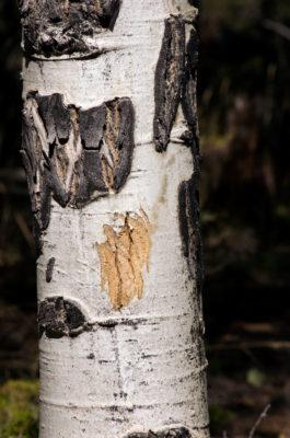 jenphotographs aspen peeled bark elks