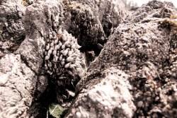 more barnacles