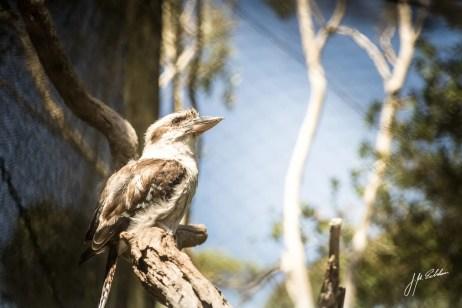 Kookaburra edited
