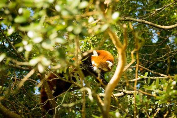 Red Panda 2 edited