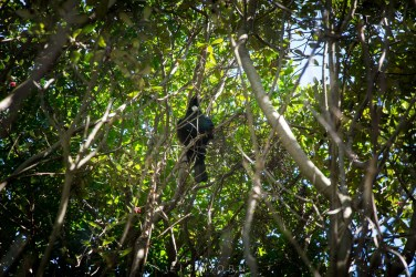 The Tui - national bird after the Kiwi.